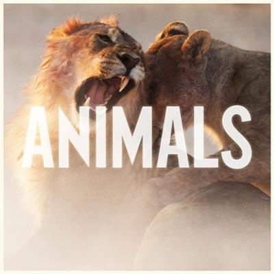 maroon5-animals